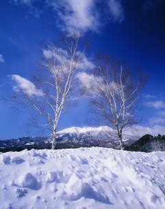 白樺と御嶽山 開田高原の写真素材 [FYI04020967]