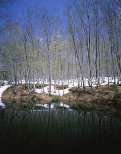 芽吹きのブナ林の写真素材 [FYI04020993]