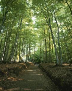 新緑のブナ林 美人林の写真素材 [FYI04020994]