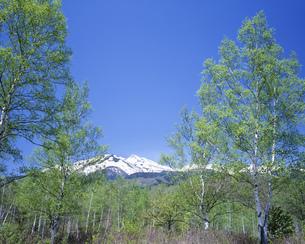 白樺新緑と乗鞍岳 乗鞍高原より望むの写真素材 [FYI04021026]