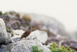 さえずるイワヒバリ 中央アルプス 宝剣岳の写真素材 [FYI04021035]