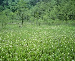 ミツガシワ群落 親海湿原の写真素材 [FYI04021038]
