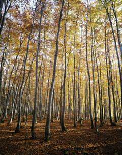 秋のブナ林 松之山美人林の写真素材 [FYI04021051]
