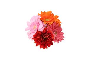 ガーベラの花束の写真素材 [FYI04021123]