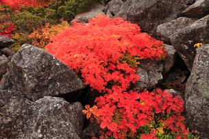 ナナカマドの紅葉の写真素材 [FYI04021284]