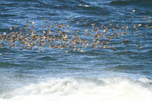 海上を飛ぶヒヨドリの群れの写真素材 [FYI04021298]