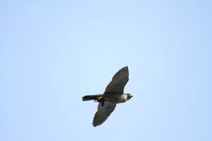 ヒヨドリを捕えて飛ぶハヤブサの写真素材 [FYI04021305]