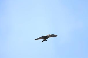 ヒヨドリを捕えて飛ぶハヤブサの写真素材 [FYI04021307]