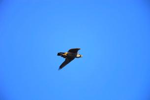 ひよどりを捕えて飛翔するハヤブサの写真素材 [FYI04021313]