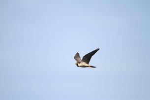 ハヤブサの飛翔の写真素材 [FYI04021314]