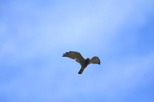 サシバの飛翔の写真素材 [FYI04021320]