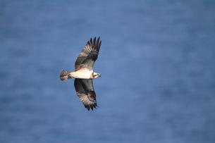 ミサゴの飛翔の写真素材 [FYI04021322]
