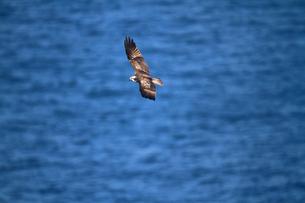ミサゴの飛翔の写真素材 [FYI04021324]