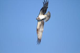 ミサゴの飛翔の写真素材 [FYI04021333]