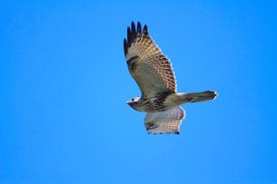 ノスリの飛翔の写真素材 [FYI04021334]