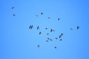 群れで飛ぶイカルの写真素材 [FYI04021337]