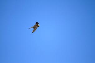 チゴハヤブサの飛翔の写真素材 [FYI04021339]