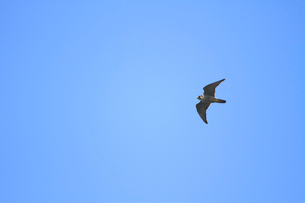 ハヤブサの飛翔の写真素材 [FYI04021341]