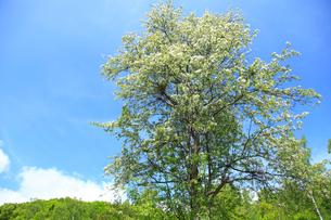 コナシの花と青空の写真素材 [FYI04021351]