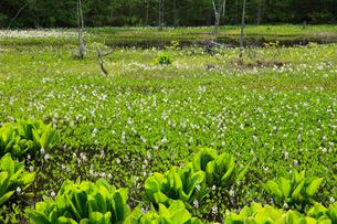 ミツガシワ咲くどじょう池の写真素材 [FYI04021354]