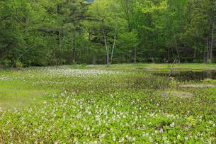 ミツガシワ咲くどじょう池の写真素材 [FYI04021360]