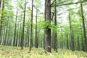 新緑のカラマツ林の写真素材 [FYI04021437]