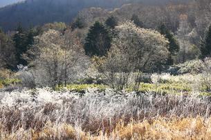 霜のついたススキの写真素材 [FYI04021469]