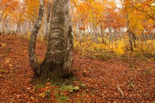 天水越のブナ林紅葉の写真素材 [FYI04021494]