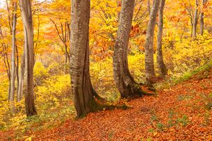 天水越のブナ林紅葉の写真素材 [FYI04021497]