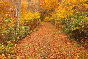 天水越のブナ林紅葉の写真素材 [FYI04021499]