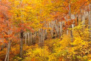 天水越のブナ林紅葉の写真素材 [FYI04021503]