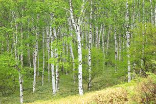 新緑の白樺林の写真素材 [FYI04021544]