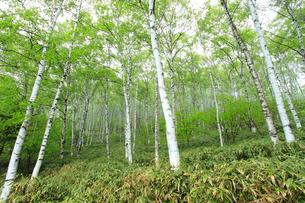新緑の白樺林の写真素材 [FYI04021547]