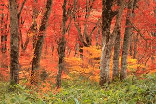 紅葉のブナ林の写真素材 [FYI04021562]