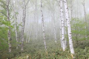 霧の白樺林の写真素材 [FYI04021580]
