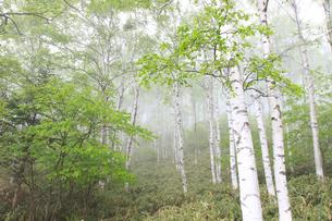 霧の白樺林の写真素材 [FYI04021585]
