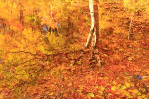 鎌池に映りこむブナの紅葉の写真素材 [FYI04021624]