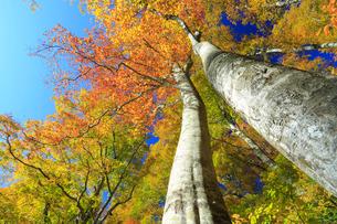 紅葉のブナ林の写真素材 [FYI04021630]