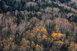 晩秋のダケカンバ林の写真素材 [FYI04021645]