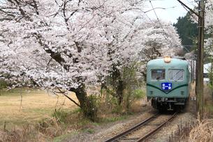 桜と大井川鉄道の電車の写真素材 [FYI04021674]