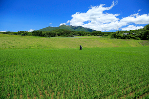 田んぼで農作業をする農家の写真素材 [FYI04021987]