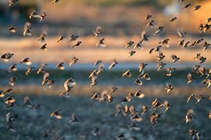 スズメの飛翔の写真素材 [FYI04022313]