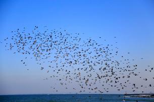 ヒヨドリの群れの写真素材 [FYI04022319]