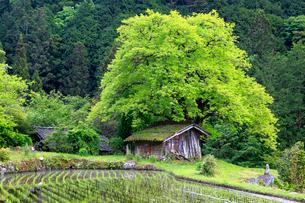 根羽村の柿の木と小屋の写真素材 [FYI04022371]