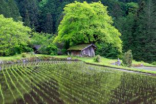 根羽村の柿の木と小屋の写真素材 [FYI04022409]