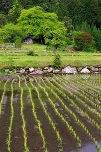 根羽村の柿の木と小屋の写真素材 [FYI04022414]