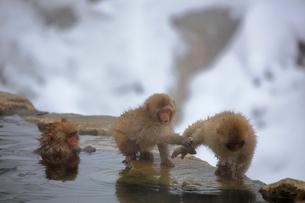 温泉に入るニホンザルの写真素材 [FYI04022567]