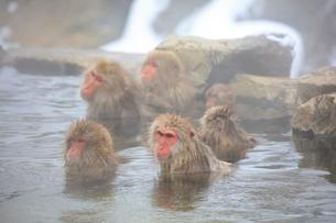温泉に入るニホンザルの写真素材 [FYI04022568]
