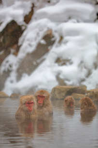 温泉に入るニホンザルの写真素材 [FYI04022573]