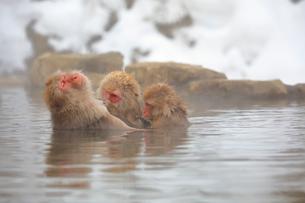 温泉に入るニホンザルの写真素材 [FYI04022574]